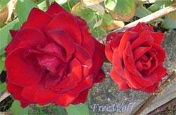 20060818195741-rosas.jpg