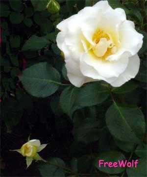 20061130184854-whiteroses.jpg