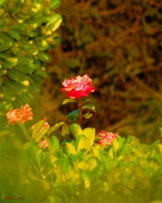 20081030202950-ecosrosa.jpg